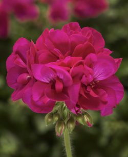Geranium Deep Rose