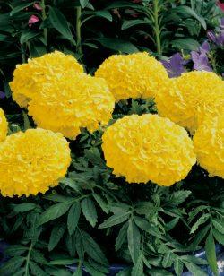 African Marigold Yellow