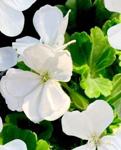Zonal Geranium White