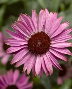 Echinacea (Coneflower) Pink