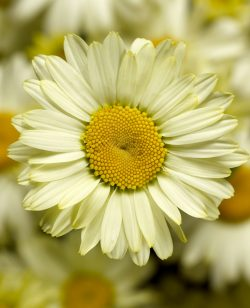 Leucanthemum Pale Yellow