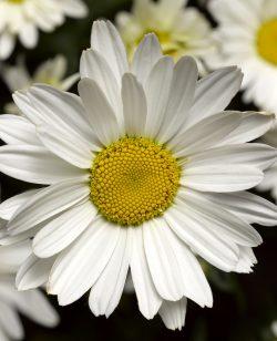 Leucanthemum White