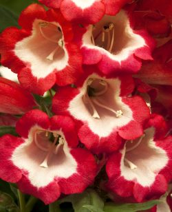 Penstemon Red and White